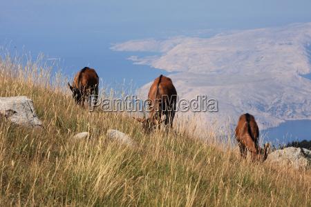 cabra bahia cuernos croacia bergziegen wildziege