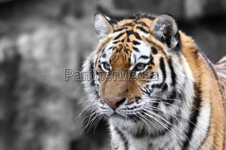 panthera, tigris, -, el, tigre - 8745136