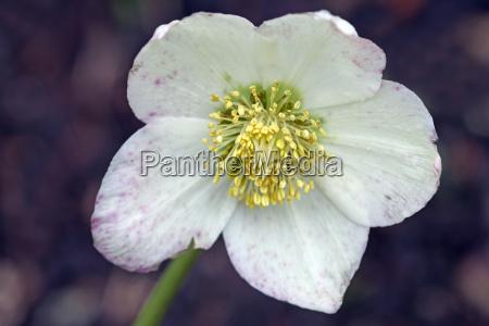 rosa de nieve
