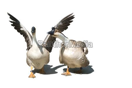 opcional gansos aislado