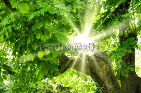 sun shines through fresh foliage