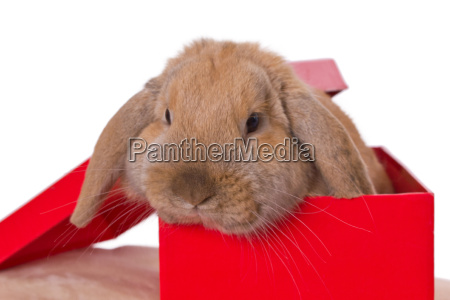 present animal pet brown brownish brunette