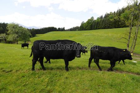 pastoreo angus rind vaca vacas corteza