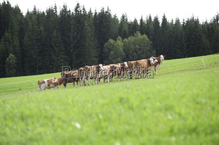 vaca bovino manada sauce