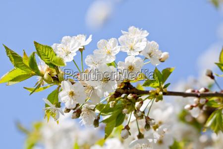 flores de cerezo blancas en una