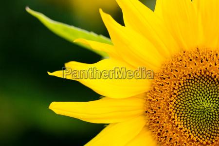 flor planta girasol centro las plantas