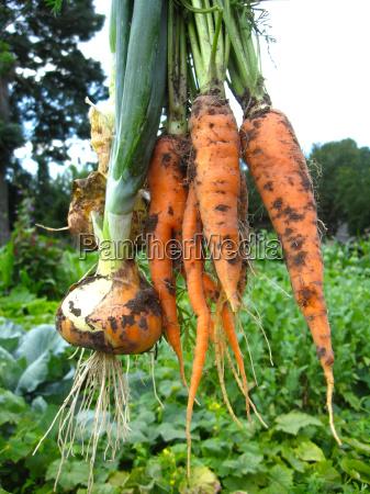 naranja cosecha vegetal zanahorias puerro grupo