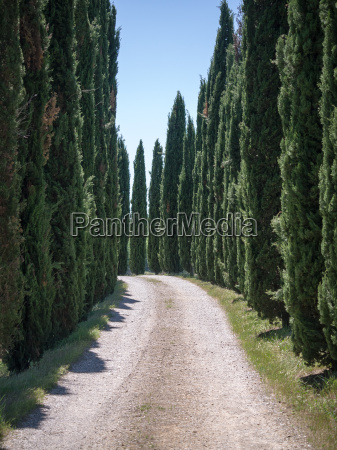 lane lined with cypress trees in