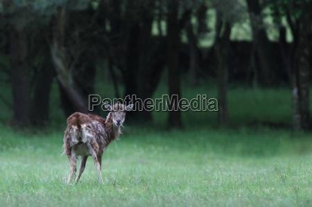 el ciervo capreolus capreolus