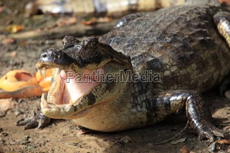 reptil dientes cocodrilo caiman hocico