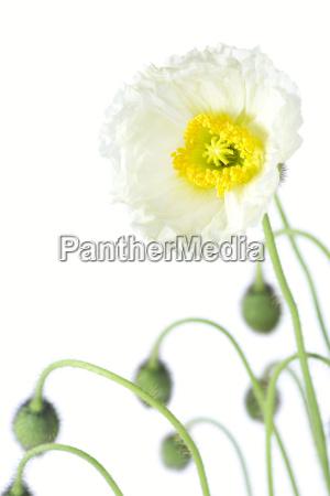 flor planta amapola palido
