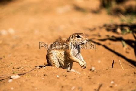desierto mamifero africa namibia gerente fauna