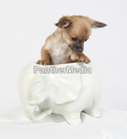 chihuahua in a vase