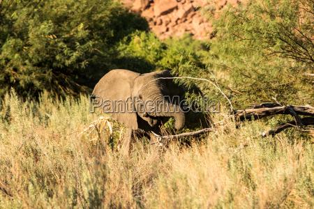 desierto mamifero africa elefante namibia fauna