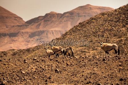 montanyas africa namibia fauna cuernos manada