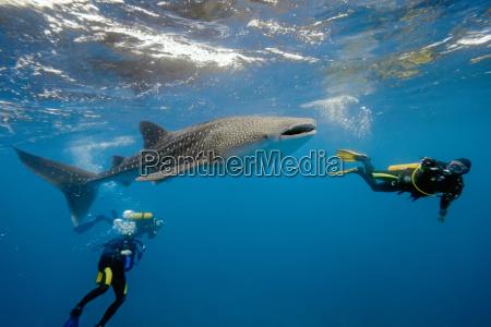 maldivas tiburon ballena buceo buzo