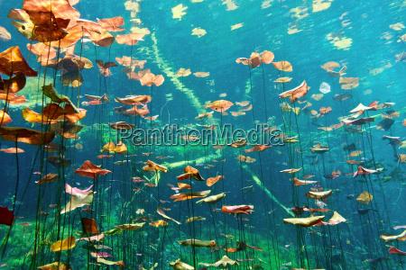 almohadillas de lirio en el cenote