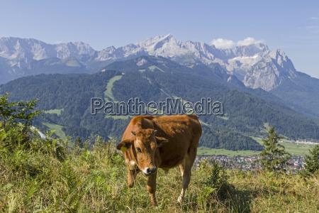 vacas en las montanyas wetterstein