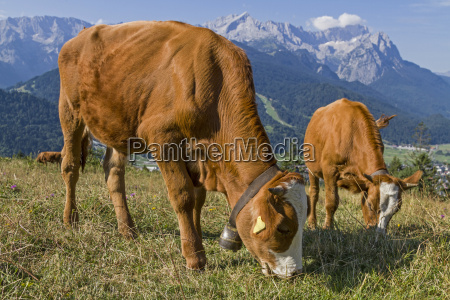 verano veraniego baviera ver vacas alta