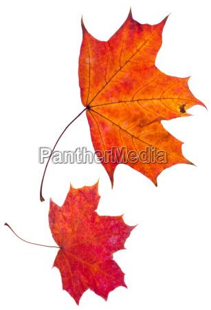 dos hojas de arce rojo otonyo