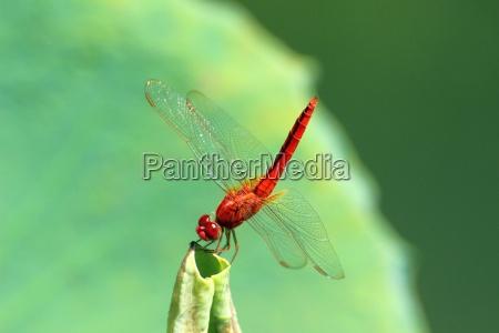 animal los insectos libelula rojo volar