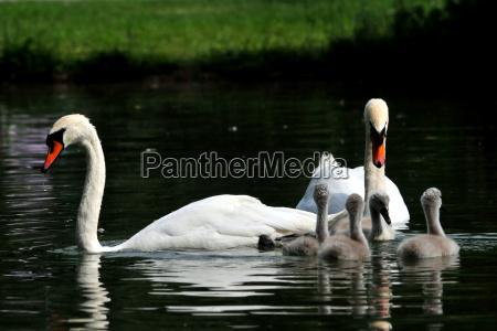 familia de cisnes en el arroyo