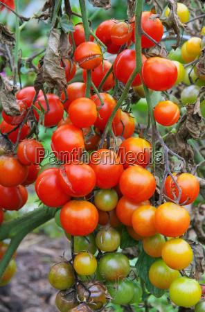 vegetal tomates pagina tomate planta