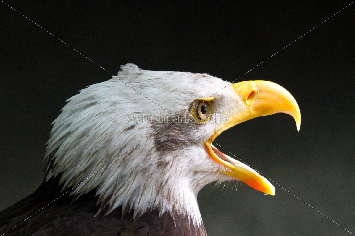 eagle, without, pose, without, position - 10092178