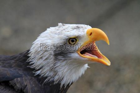Águila - 10099450
