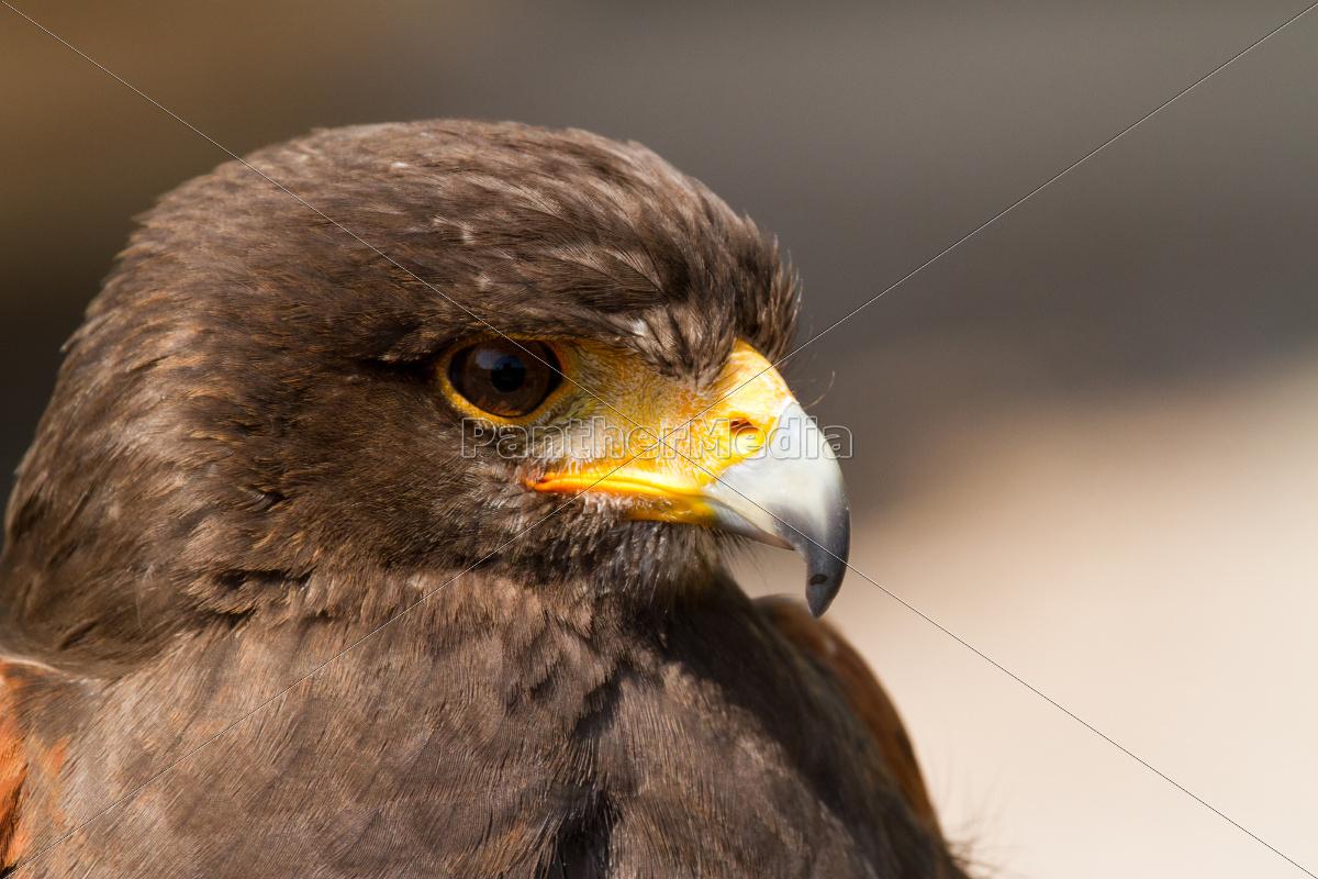 Águila - 10099568