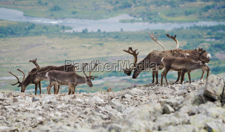 noruega fauna manada reno