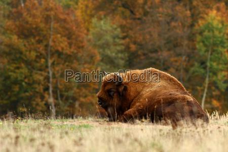 animal los animales eeuu america bufalo