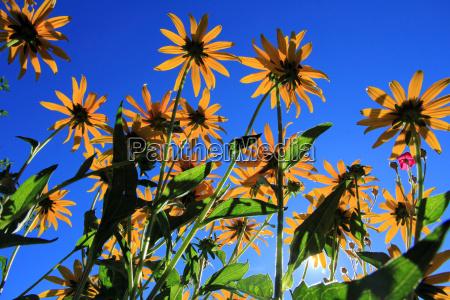 yellow flowers blue sky
