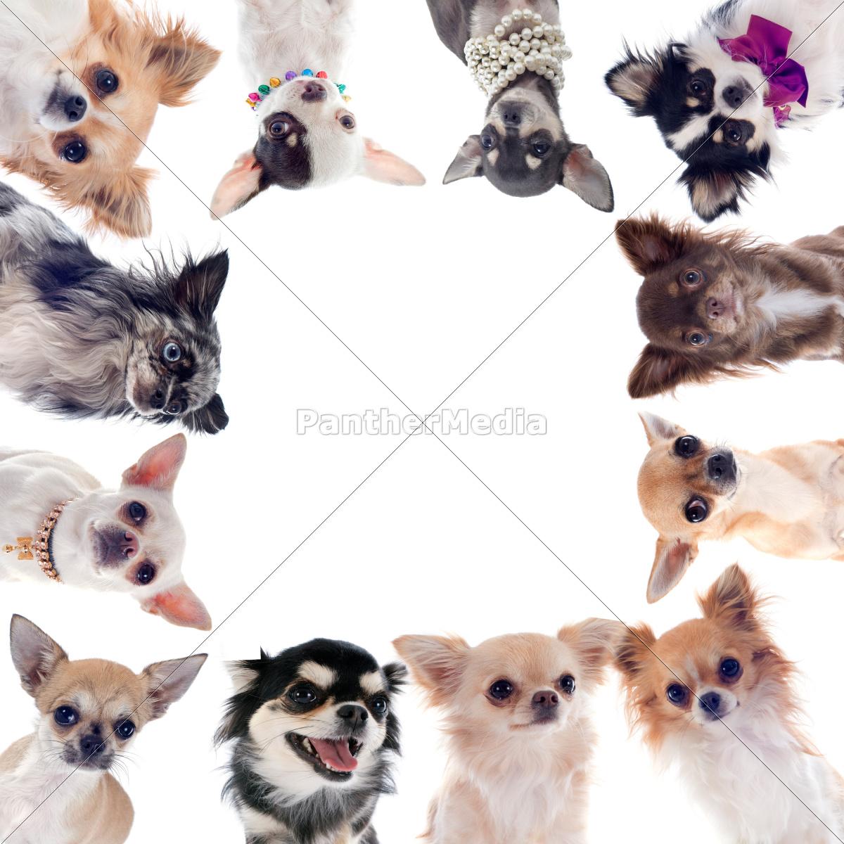 grupo, de, chihuahuas - 10298583