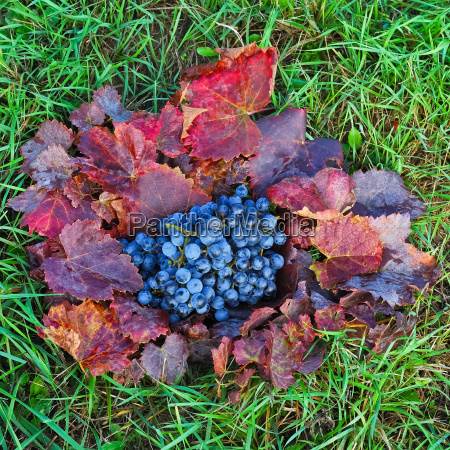 red grapes on leaves in the
