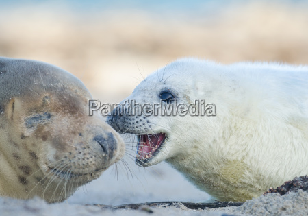 grey seals baby with mother
