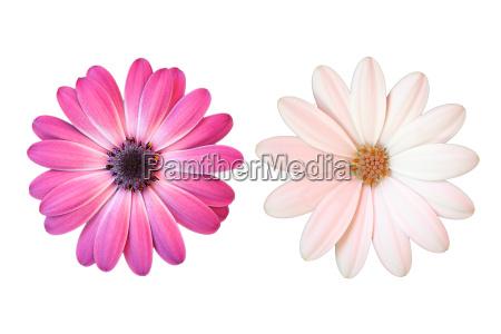 margarita rosa y blanco sobre fondo