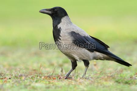 fauna cuervo