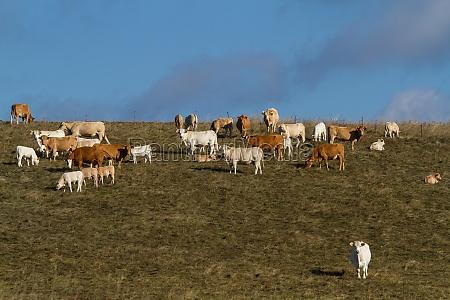 los animales agricultura vaca ganado vacas