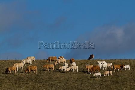 rebanyo de vacas en el prado