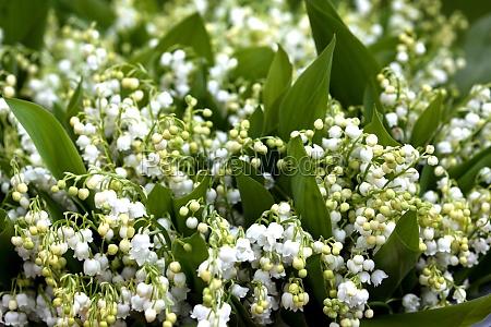 planta flor lirio de los valles