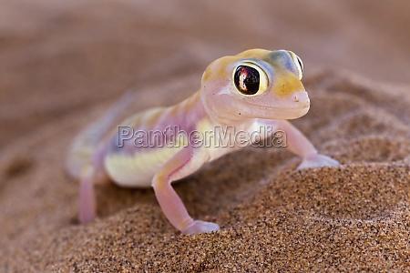 namib dune gecko gecko de palmato