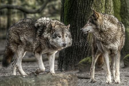 animal los animales brandenburgo lobo los