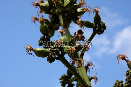 azul, flor, planta, verde, cuba, cielo - 10820866