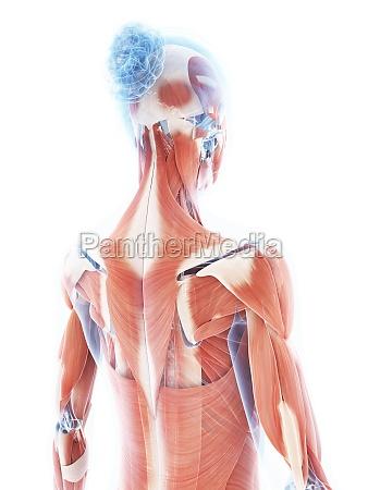 mujer medicinal femenino grafico ciencia musculo