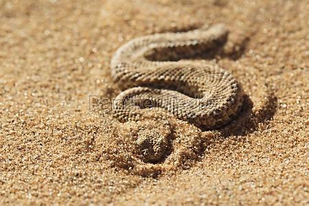sidewinder serpiente namib arena enana sumador