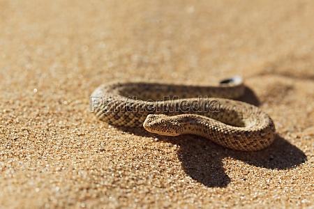 sidewinder adder namib dwarf sand adder