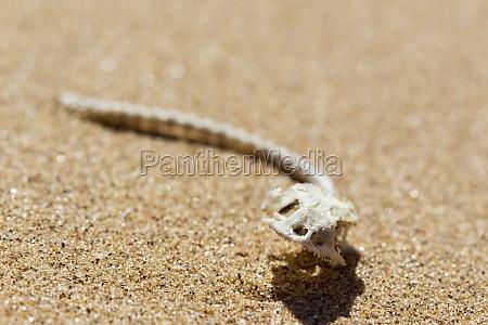 esqueleto de un lagarto desierto de