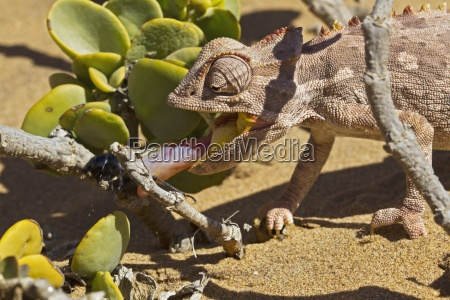 namaqua chameleon chamaeleo namaquensis desierto de
