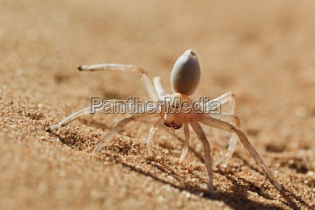 dancing, white, lady, araña, (carparachne, aureoflava), desierto - 10930946
